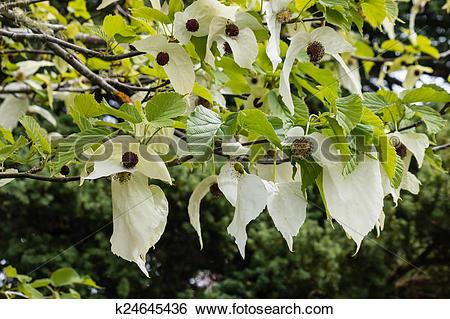 Stock Images of handkerchief tree flowers k24645436.