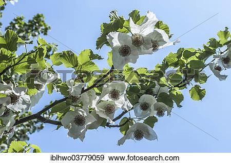 Stock Photograph of Dove Tree, Handkerchief Tree or Ghost Tree.