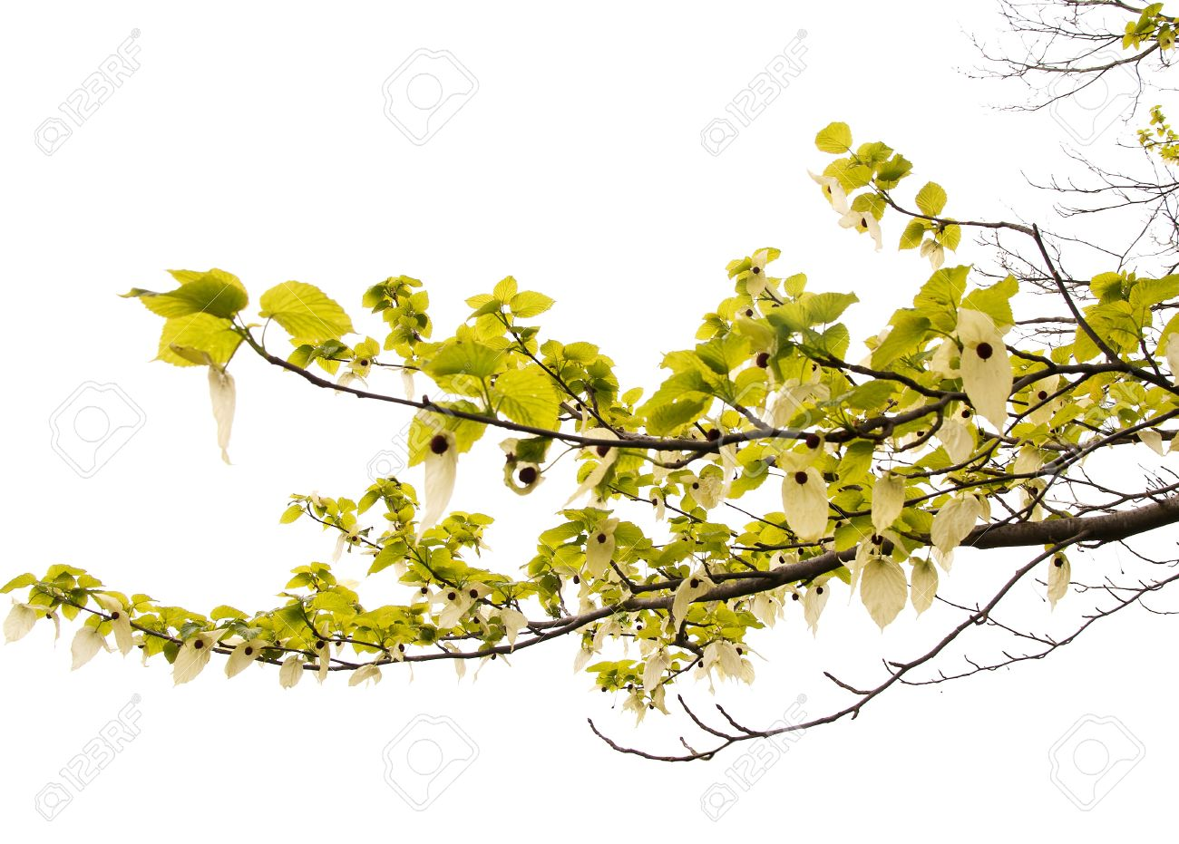 Davidia Involucrata, Pocket Handkerchief Tree.
