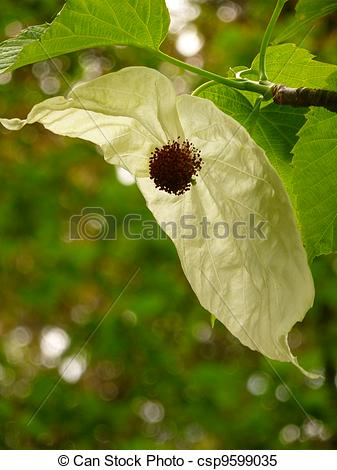 Stock Images of Dove Tree Flower.