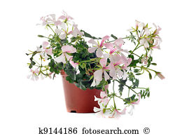 Hanging geraniums Stock Photos and Images. 360 hanging geraniums.