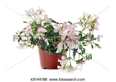 Stock Images of hanging geraniums k9144186.
