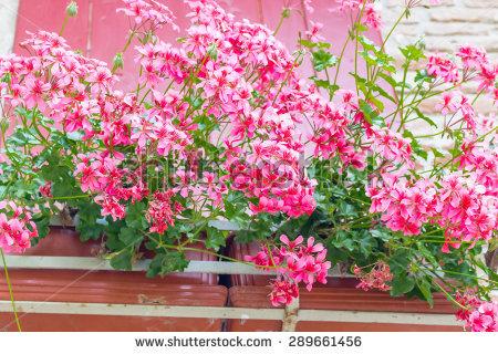 """hanging_geraniums"""" Stock Photos, Royalty."""