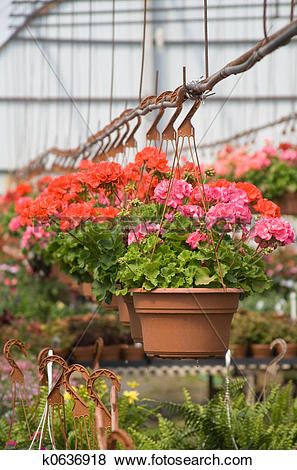 Pictures of Hanging Geraniums k0636918.