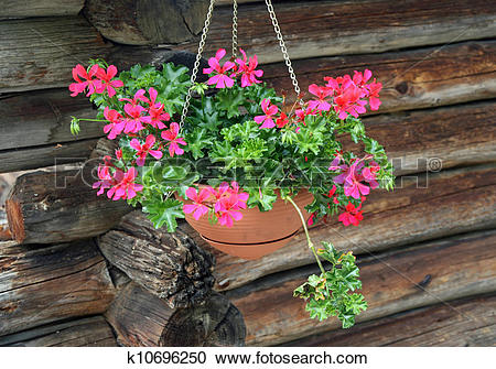 Stock Photography of potted Geraniums hanging k10696250.