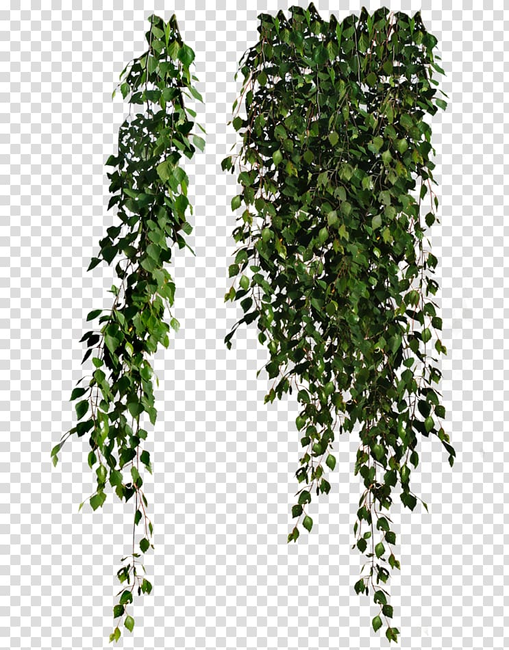 Green plants illustration, Plant Leaves Common ivy , hanging.