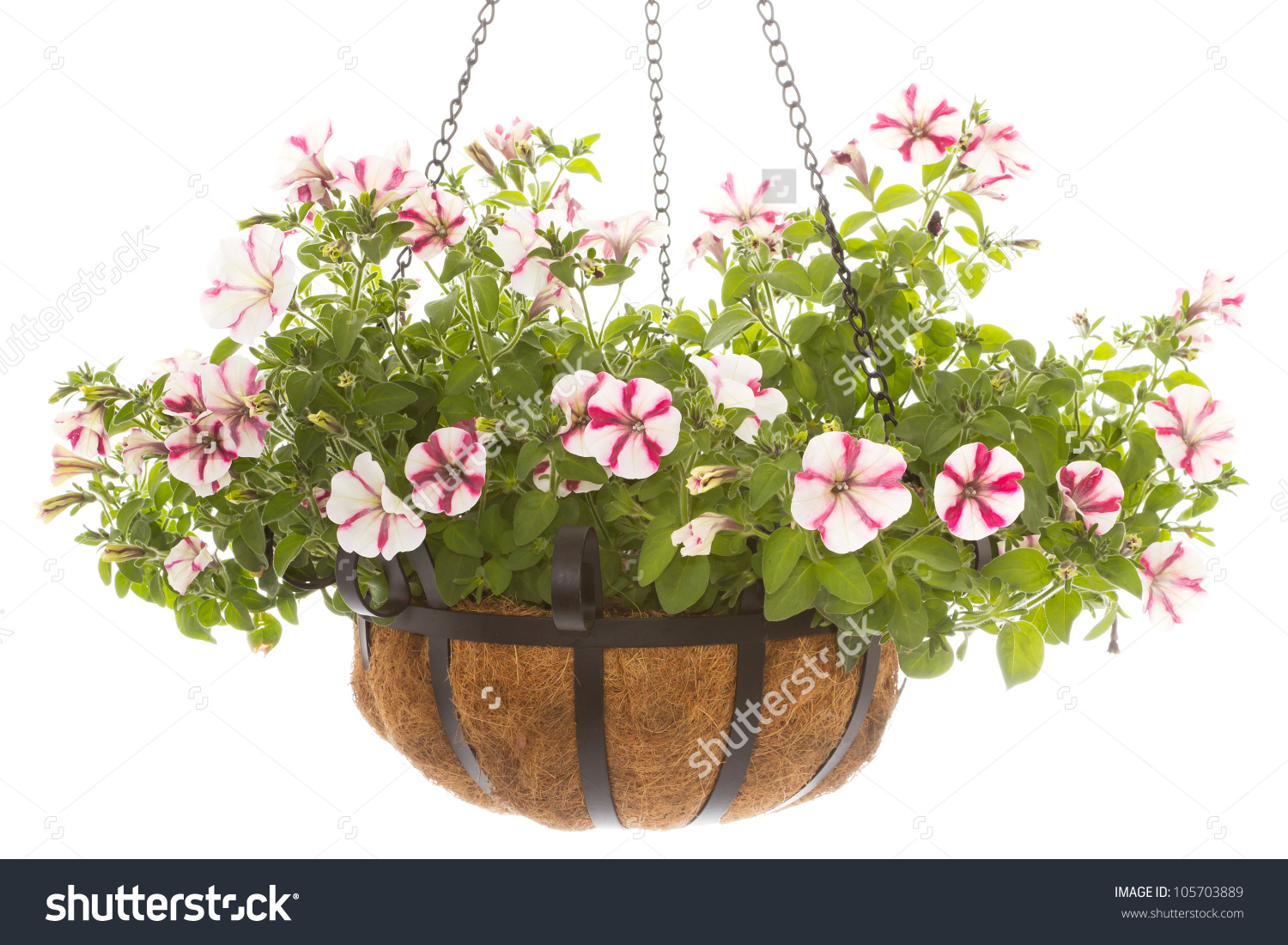 Hanging Basket With A Petunia Over A White Background Stock Photo.