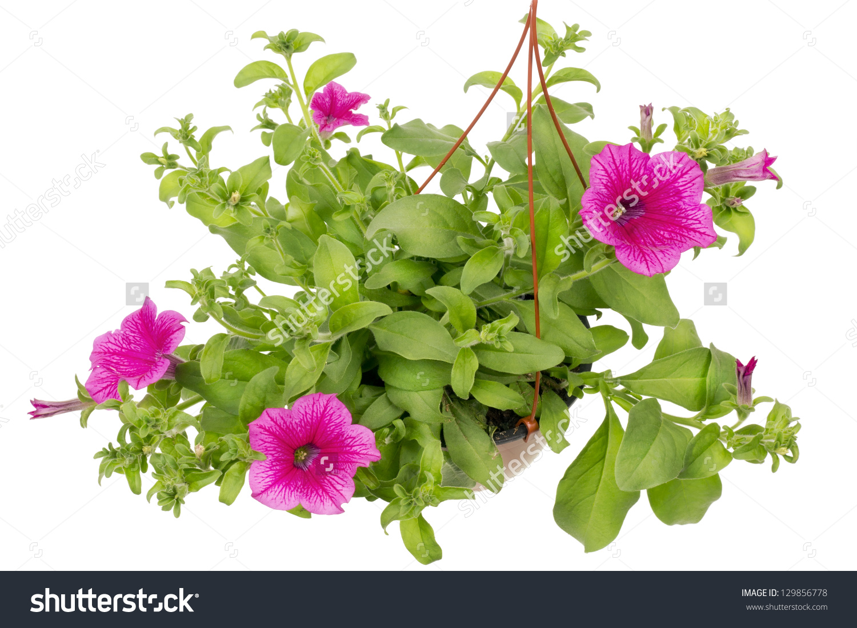 Petunia Flowers Pink Petals Velvety Leaves Stock Photo 129856778.
