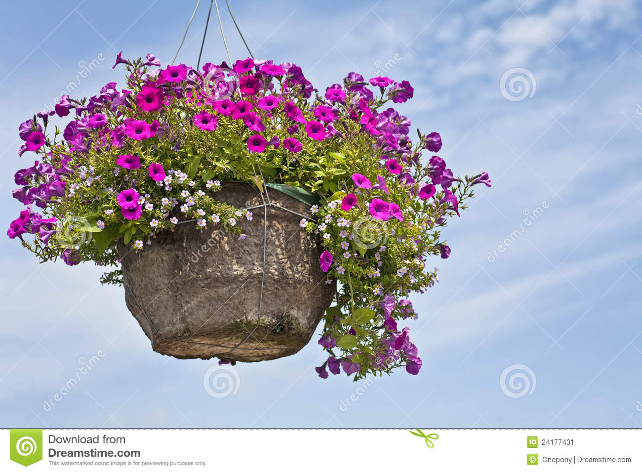 Petunia Hanging Basket Stock Photos, Images, & Pictures.