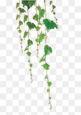 Green Leaf Vine in 2019.