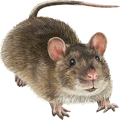 Brown Rat, Hanover Rat, Norway Rat clipart graphics (Free clip art.