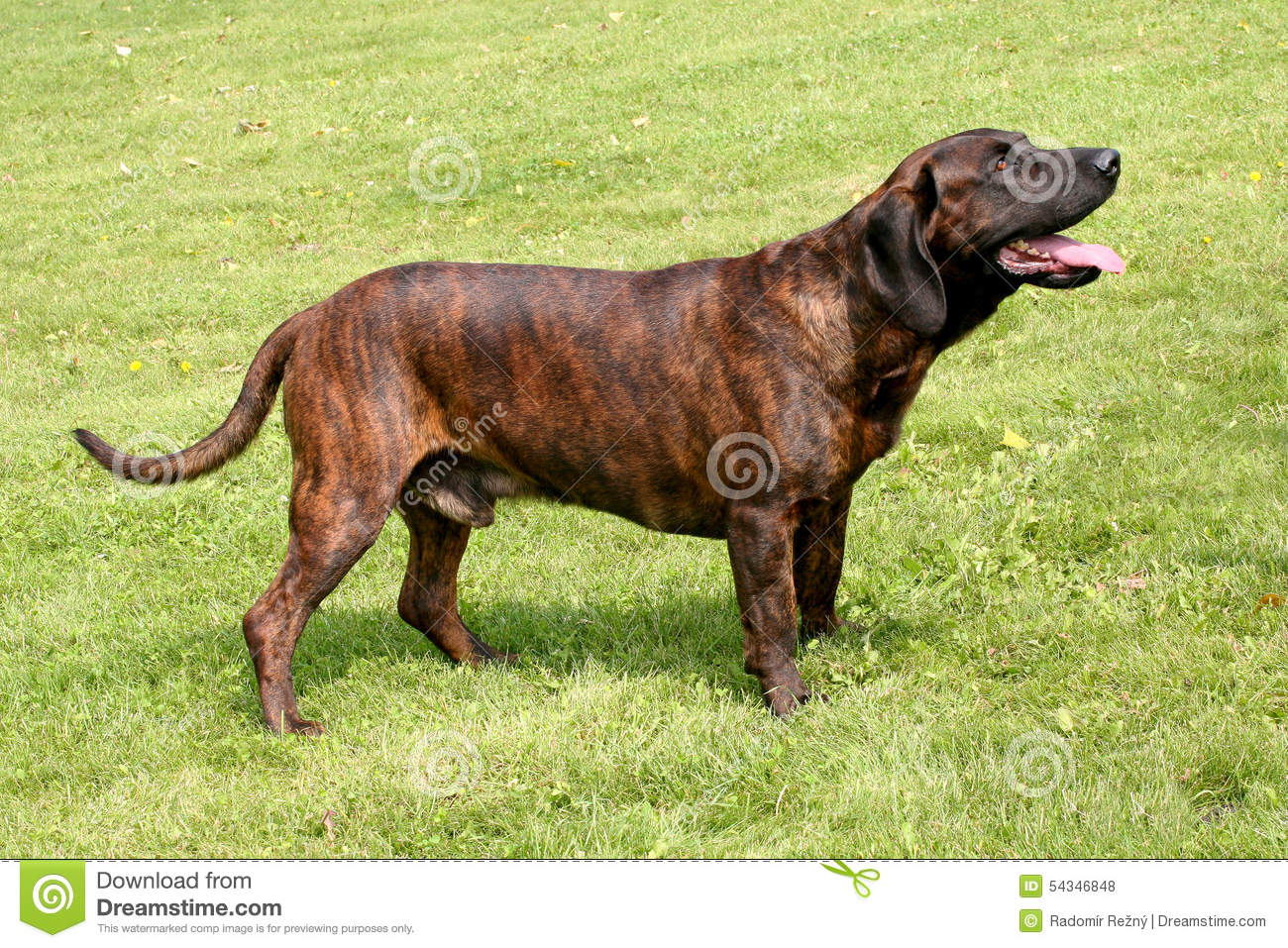 The Portrait Of Hanoverian Scenthound Dog Stock Photo.