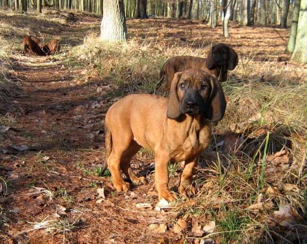 17 Best ideas about Schweißhund on Pinterest.