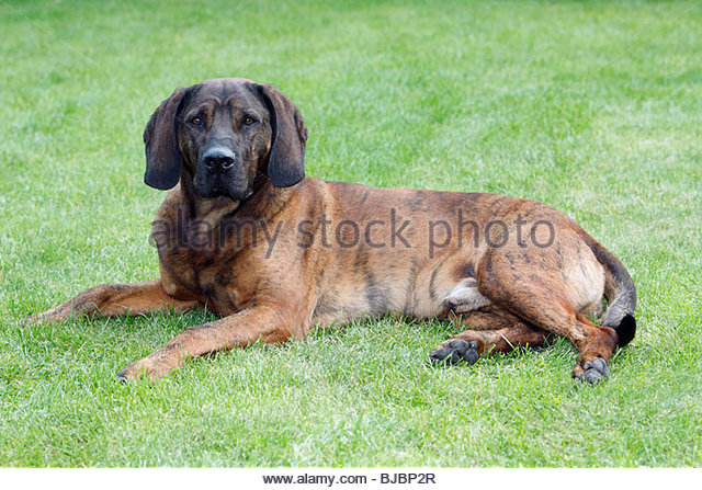 Hound Hunting Stock Photos & Hound Hunting Stock Images.