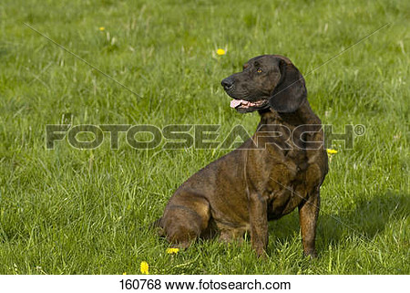 Hanoverian hound clipart.
