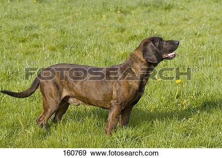 Stock Photograph of Hanover Hound dog.