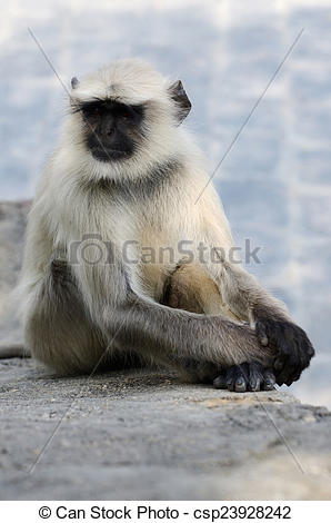 Stock Photo of Sitting gray langur or Hanuman langur, monke.