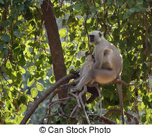 Stock Images of Hanuman Langur csp36557050.
