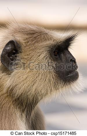 Pictures of Hanuman langur , India.
