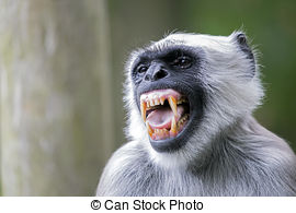 Hanuman langur Stock Photos and Images. 318 Hanuman langur.