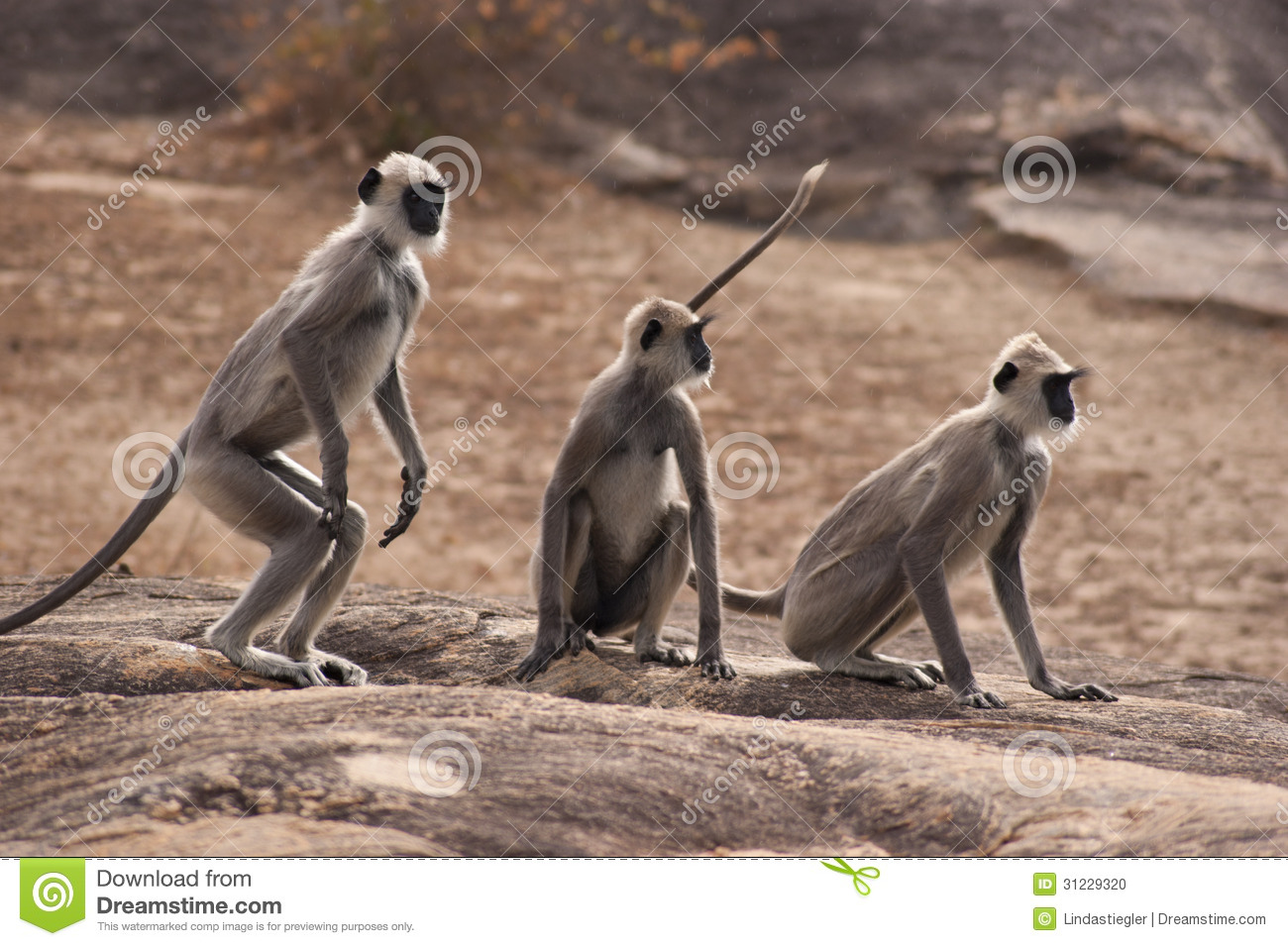 Three Monkeys (Langur) Stock Photo.