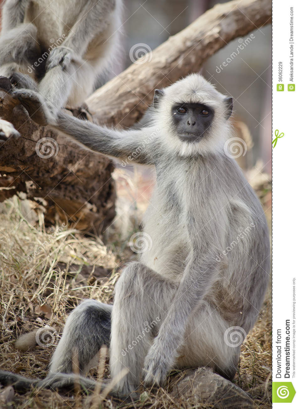 Gray Langur Also Known As Hanuman Langur Royalty Free Stock Images.