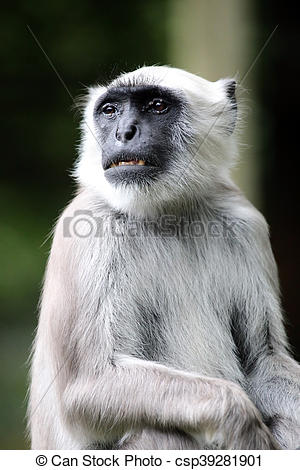Stock Photography of Hanuman Langur csp39281901.