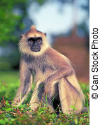 Pictures of Hanuman Langur csp36567582.