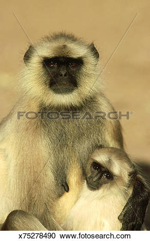 Stock Photography of hanuman langur: semnopithecus entellus with.