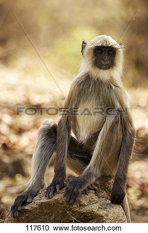 Stock Photography of ape, hanuman.