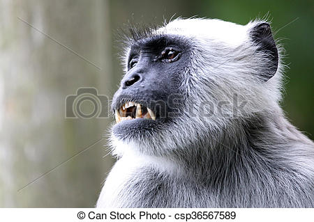 Pictures of Hanuman Langur csp36567589.