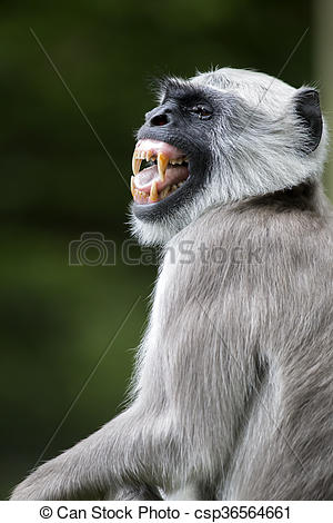 Stock Image of Hanuman Langur csp36564661.