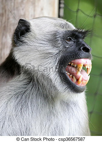 Pictures of Hanuman Langur csp36567587.