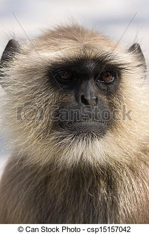 Stock Photo of Hanuman langur , India.