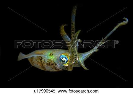 Stock Image of Bigfin Reef Squid (Sepioteuthis lessoniana.