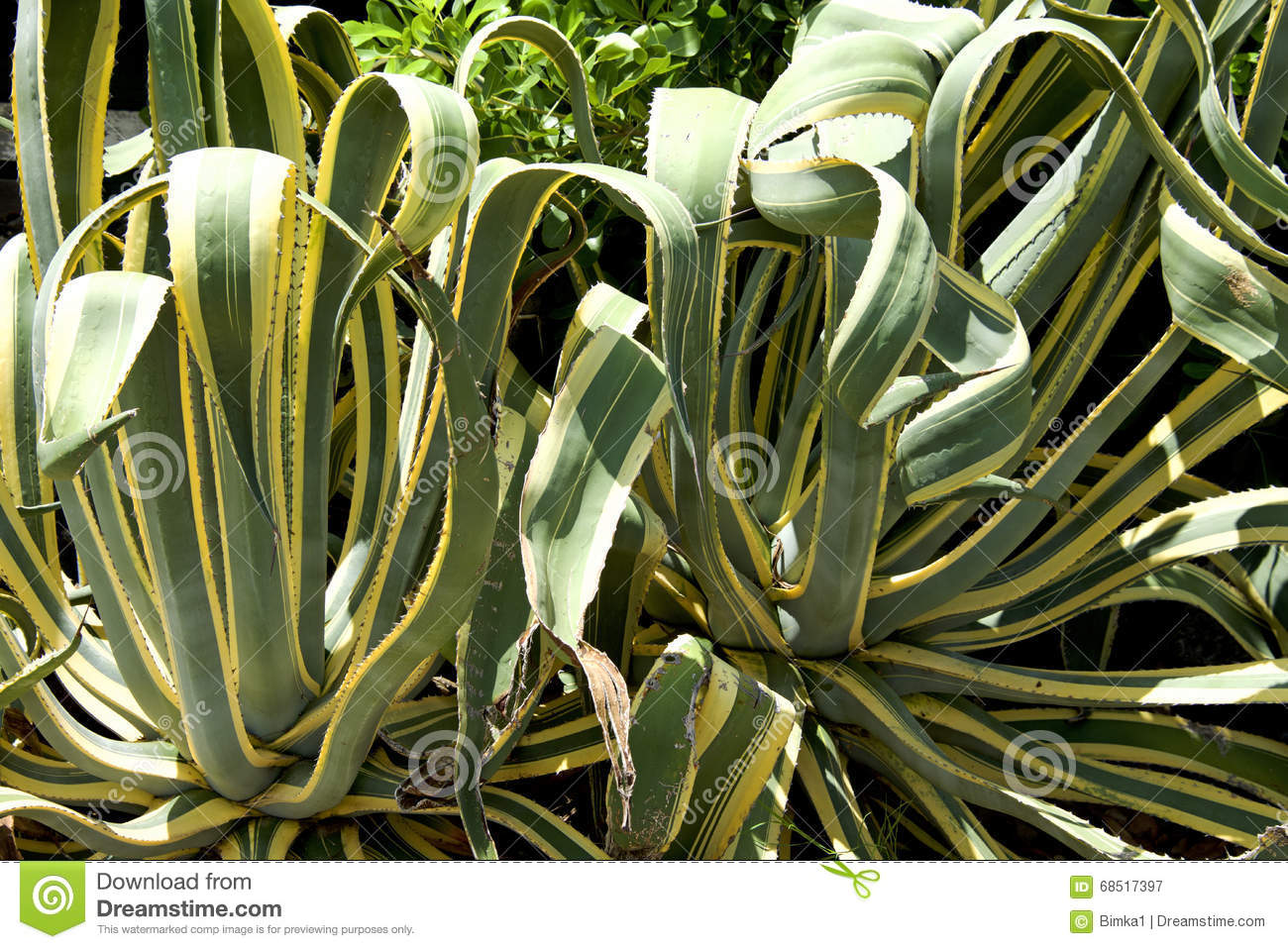 Century Plant Agave Stock Photo.