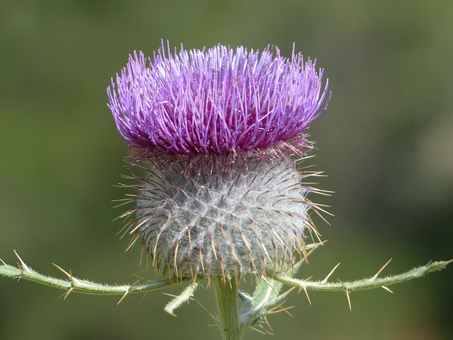 Free photo: Wool Head Creeping Thistle, Flower.