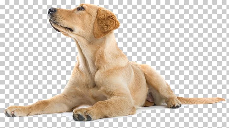 Labrador Retriever Golden Retriever Puppy Dog training.