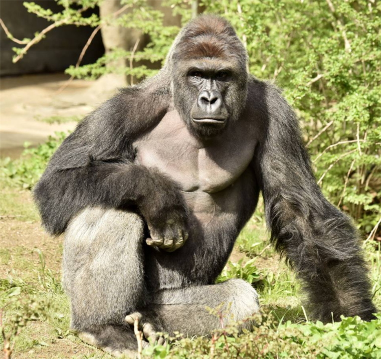 Family of Boy Who Fell In Harambe Exhibit Asks for Donations to Go.