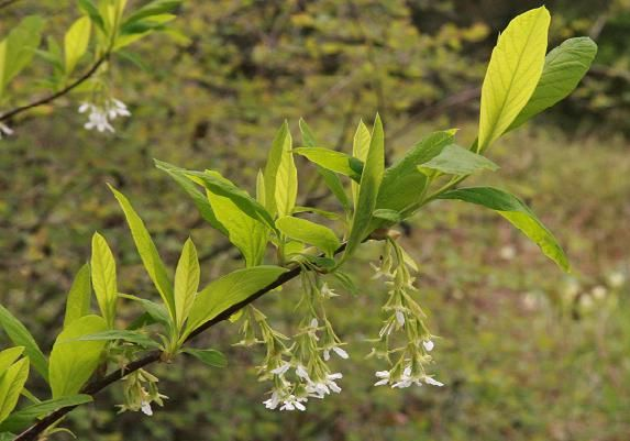 Oemleria cerasiformis (Indian Plum). A harbinger of spring with.