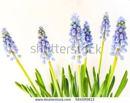 Harbinger Of Spring Stock Photos, Royalty.