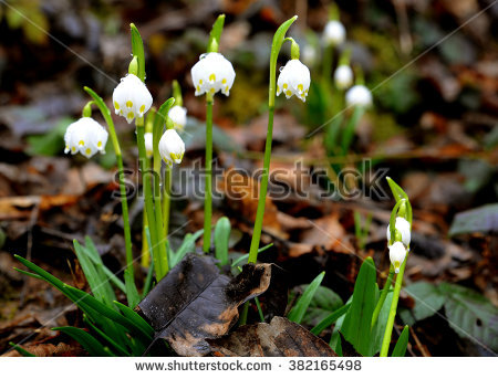 Spring Snowdrops, White Flower, The First Harbingers Of Spring.
