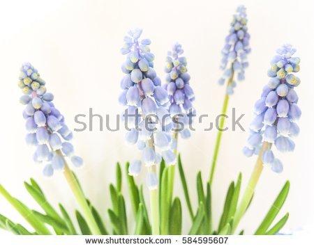Harbinger Of Spring Stock Photos, Royalty.