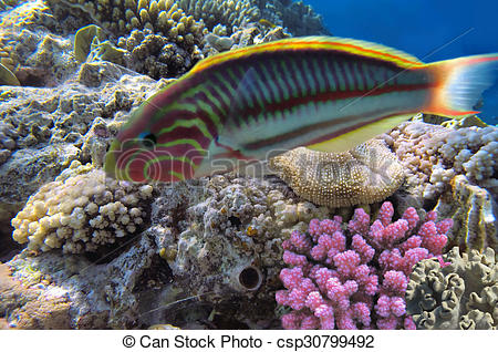 Stock Photographs of Thalassoma Klunzingeri and Hard corals in the.