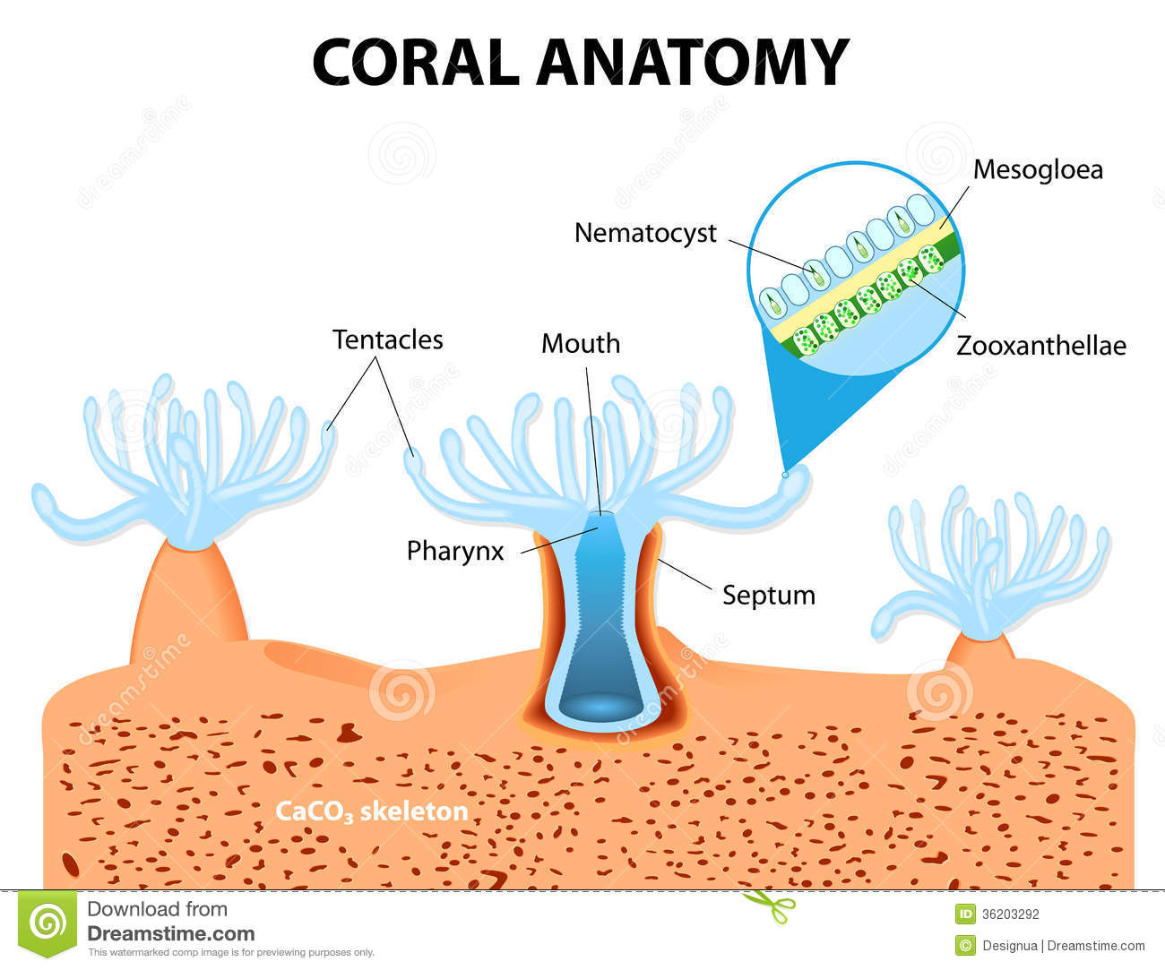 What forms the structure called a coral reef.