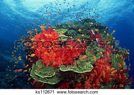 Stock Photography of Hard Corals (Acropora sp) and Soft Corals and.