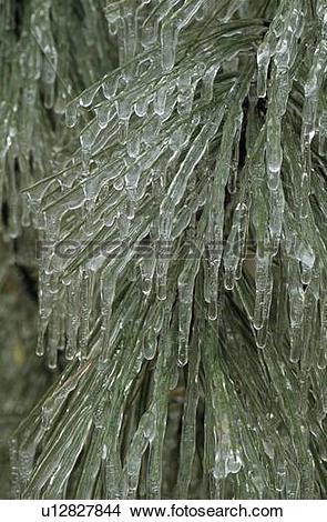 Stock Photo of Hard rime ice on ponderosa pine branch and needles.