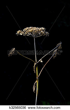 Stock Images of Dried wild parsnip flower in vertic k32565036.