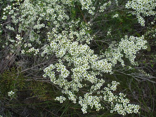 wild may Leptospermum polygalifolium hardy, fine.