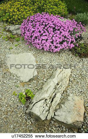 Stock Image of Alpine garden plants in bloom (Alpine pink Dianthus.